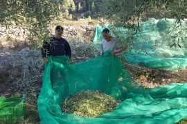 Marrut olives ready for processing